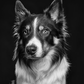 Suspicion by Karen Havenaar - Animals - Dogs Portraits ( studio, border collie, black and white, adorable, cute, dog, posing, domestic )