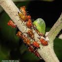 Keeled Treehopper
