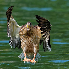 Flying at you by Raphael RaCcoon - Animals Birds ( bird, water fowl, mallard, duck, lake )