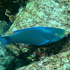 Queen Parrotfish (terminal phase)