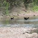 Moorhen; Pollo de Agua
