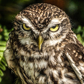 Little owl by Garry Chisholm - Animals Birds ( bird, garry chisholm, nature, owl, wildlife, prey )
