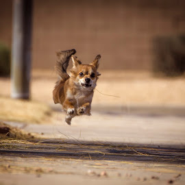 Airborne by Brent Dreyer - Animals - Dogs Running ( puppy, chihuahua, dog, running )