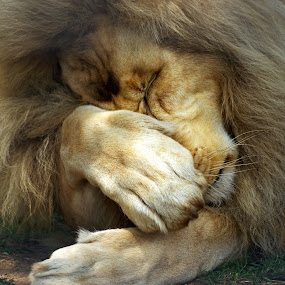 Paws For Thought by Ingrid Anderson-Riley - Animals Lions, Tigers & Big Cats