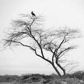eagle on a tree by Yahia  husain - Landscapes Deserts ( bird, desert, eagle, tree, falcon )