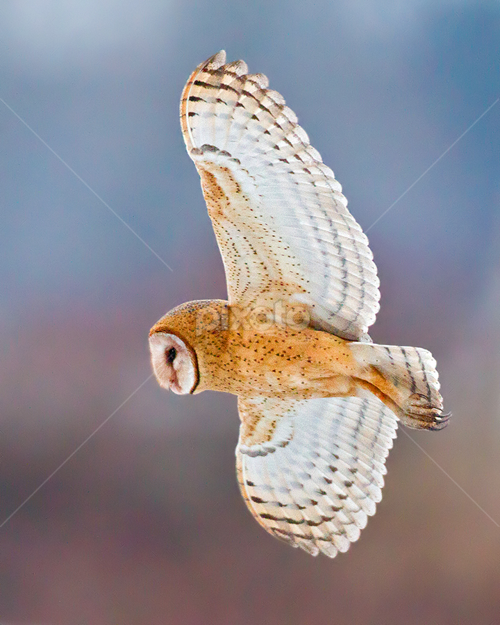 Barn Owl by Herb Houghton - Animals Birds ( bird of prey, barn owl, owl, raptor )