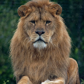 Lion in the rain by Fiona Etkin - Animals Lions, Tigers & Big Cats ( feline, proud, mammal, nature, mane, animal, big cat, lion )