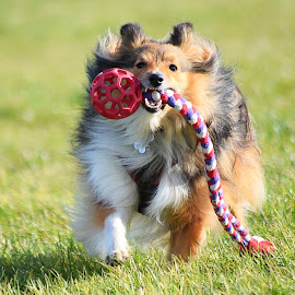 Benji with his tuggy by Fiona Etkin - Animals - Dogs Playing ( playing, canine, loyal companion, pet, tuggy, shetland sheepdog, dog, sheltie, dog toy, animal )