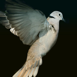 Flight of the Dove by Sheen Deis - Animals Birds ( mourning dove, wings, doves, birds, birds in flight )