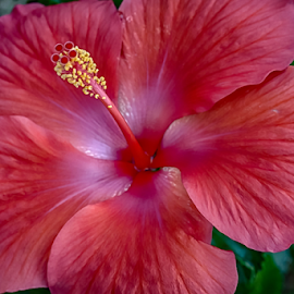 Standing Up by Janice Mcgregor - Flowers Single Flower ( canon, bloomed, warm, patterns, single, petals, blossomed, canon sl1, spring, macro, red, hibiscus, details, outdoors, summer, hot, canon photography, flower, outside, opened,  )