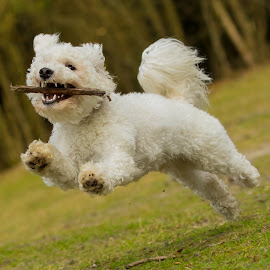 Bichon Frise playing by Jenny Trigg - Animals - Dogs Running ( playing, frise, bichon, bichon frise, woodland, puppy, dog, running,  )