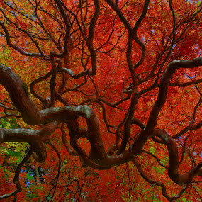 Looking into the Red by Keith Sutherland - Nature Up Close Trees & Bushes ( red, tree, nature, leaves, branches,  )
