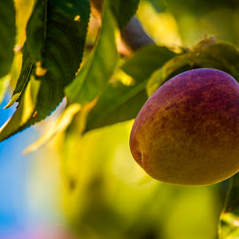 by Sharon Wills - Nature Up Close Gardens & Produce ( fruit, red, tree, flora, green, peach, leaves,  )