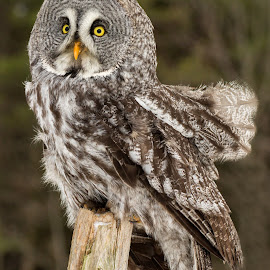 Windblown Owl  by Peter K. Burian - Animals Birds ( bird, bird of prey, great gray owl, owl, raptor, great grey owl )