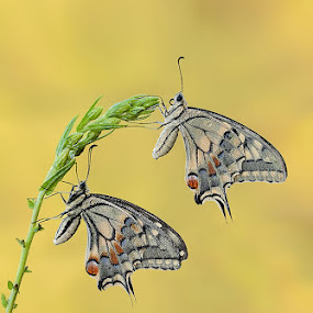 Papilio Machaon Twins by Eric Niko - Animals Insects & Spiders ( nikon d700, butterfly, papilio machaon, sigma 150 os, twins, , Backyard, insects, reptiles, living creatures, green, colors, daily life, animal, butterfy )