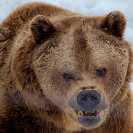 Angry by Alexander Voda - Animals Other Mammals ( bear, wildlife, photography, portrait, animal )