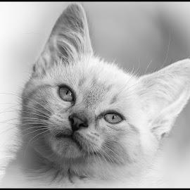 Luna by Dave Lipchen - Black & White Animals ( kitten )