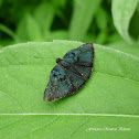 Red-Costa Metalmark