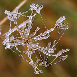 Frozen by Chrissie Barrow - Nature Up Close Other plants ( nature, ice, white, drops, frost, brown, web, hogweed, bokeh, closeup, seedhead )