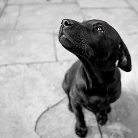 Bruno Posing 2 - with brown eye by Andrew Robinson - Animals - Dogs Puppies ( labrador retriever, blackandwhite, puppies, dogs, black and white, puppy, labrador, dog )