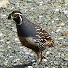 California Quail(Icon)