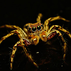 Look into my eyes~~~ O_O by Fazrul Mustaqim - Animals Insects & Spiders ( macro, stare, arachnid, spider, insects, small, eyes )