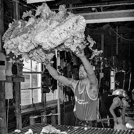 Tossing the fleece by Greg Jones - Black & White Portraits & People ( black & white, shearing, sheep., australia )