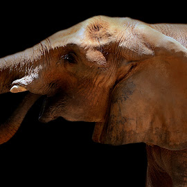 Juvenile elephant  by Abbey Gatto - Animals Other Mammals ( animals, nature, wildlife, elephant baby, close up )