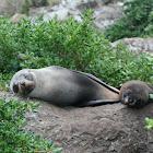 NZ Fur Seal