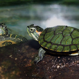 Keur Ngawangkong by Dedi Sukardi - Animals Amphibians ( macro, animals, turtles, amphibians )