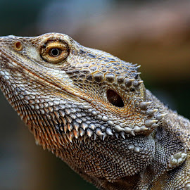 What you looking at by Mandy Hedley - Animals Reptiles ( lizard, staring, scales, reptile, skin )