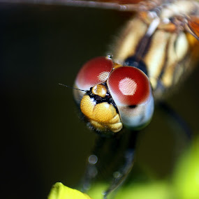 |DRAGONFLY[Thumbi]| by Gokul Rajenan - Animals Insects & Spiders ( #dragonfly #eyes #cute #nature )