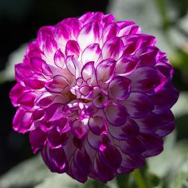 Single Flower by Janet Marsh - Flowers Single Flower ( purple, dahlia )