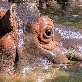 Hippo by Mark Hewetson - Animals Amphibians ( hippo, zoo, hippopotamus, amphibian, mammal )