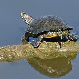 by Steven Aicinena - Animals Amphibians