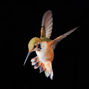 Rabble-rouser by Briand Sanderson - Animals Birds ( bird, black background, roufus, hummingbird, selasphorus rufus,  )