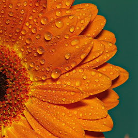 Daisy by Senthil Damodaran - Nature Up Close Flowers - 2011-2013 ( orange, macro, nature, daisy, flower )