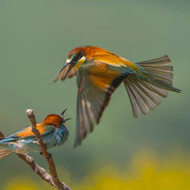 gruccione by Claudio Massanelli - Animals Birds ( #redeyes, #italianbird, #orange, #wild, #merops apiaster, #green, #wild bird, #life, #wildlife, #uccelli, #gruccione )