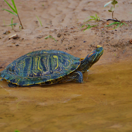 Red Eared Slider  8459 by Jim Suter - Animals Reptiles (  )