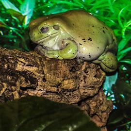 Smiling frog by Simon Wood - Animals Amphibians ( canon, nature, frog, slimy, vegetation, smile, tamron )