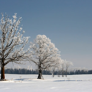 Frozen Trees.JPG