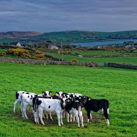 by Gerald Horgan - Landscapes Prairies, Meadows & Fields ( countryside, farm, animals, ireland, dingle peninsula, dingle, irish, landscapes, photography, cows,  )