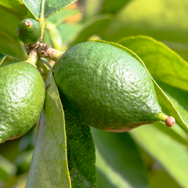 Close up of limes growing on a tree by Jackie Nix - Food & Drink Fruits & Vegetables ( fruit, green, agriculture, horticulture, lime, leaves, spring, farming, farm, organic, tree, citrus, fresh, natural, growth,  )