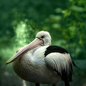 PELIKAN by Farid Wazdi - Animals Birds