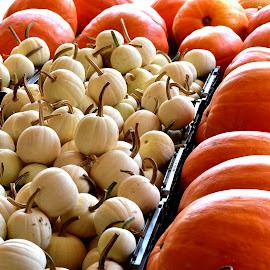Jack-O-Lanterns in Waiting by Mark Clark - Public Holidays Halloween ( orange, pumpkins, white, gourds, orbs, stems )