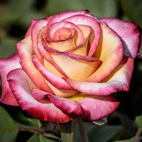 Rose by Dawn Hoehn Hagler - Flowers Single Flower ( rose, reid park, arizona, tucson, rose garden, reid park rose garden, garden, flower,  )