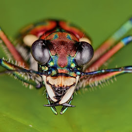 Tiger Beetle : Face To Face by Meorjay Creation - Animals Insects & Spiders