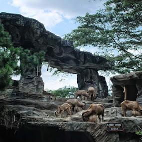 Mountain Goat by Aji Patria - Animals Other