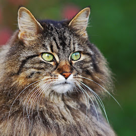 Cat beauty by Martin Kyburz - Animals - Cats Portraits ( cats, cat, beautiful, bokeh, portrait, animal )