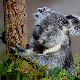 Koalas Rock! by Shawn Thomas - Animals Other